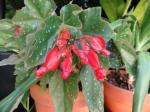 Begonia 'Lois Burke' is starting to bloom.