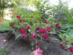 Impatiens balsamina.  Can someone please tell me why these aren't more popular?
