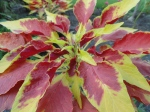 Tricolor amaranth.  Again, why isn't this plant more popular?