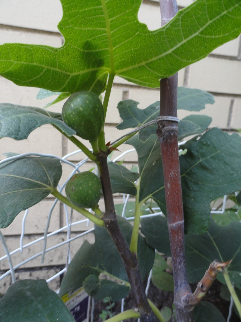 My Chicago hardy fig has about 20 fruit setting on it.  I hope they actually ripen!