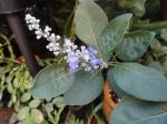 I'm pretty sure this is Vitex rotundifolia?  Anyone know for sure?