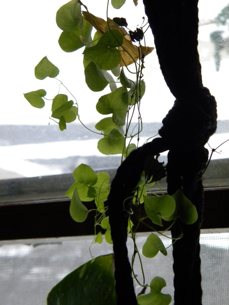 My Dioscorea elephantipes that I got at the Chicago Flower show last year is growing like gangbusters.  It's climbed several feet up an unused hanging basket holder...