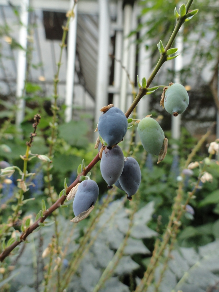 Mahonia x media fruits in the conservatory