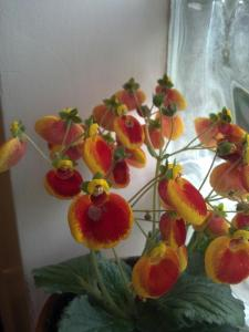 Yellow, Orange and Red Calceolaria