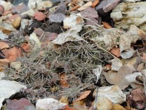 Opuntia fragilis 'Dunn County Wisconsin Strain'