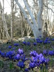 Iris reticulata with some wonderful birches