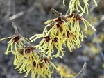 Hamamelis of some sort