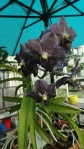This Vanda had the most beautiful smokey blue color, quite unlike any I'd seen before
