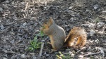 Their squirrels were eating crabgrass.  I want weed eating squirrels!