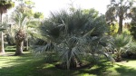 Brahea palm.  I find it amusing that there are two genera of palms named for astronomers (the other being Copernicia)