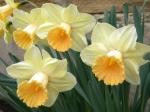 Narcissus 'Fidelity'
