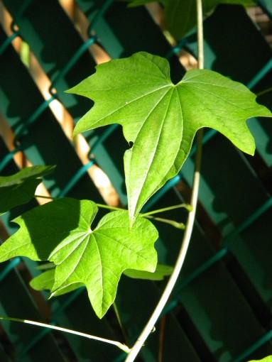 Dioscorea quinqueloba
