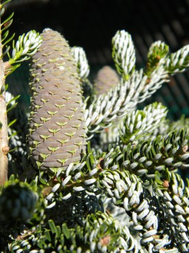 Abies koreana 'Horstman's Silberlocke' has such great cones