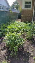 The edible portion of the garden (pretty much overrun by watermelon vines)