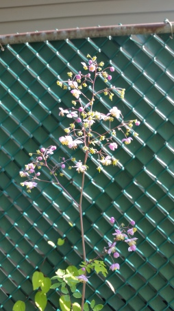 I can't remember what Thalictrum this is but I love it