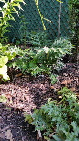 Acanthus spinosis survived our terrible winter and is thriving this summer