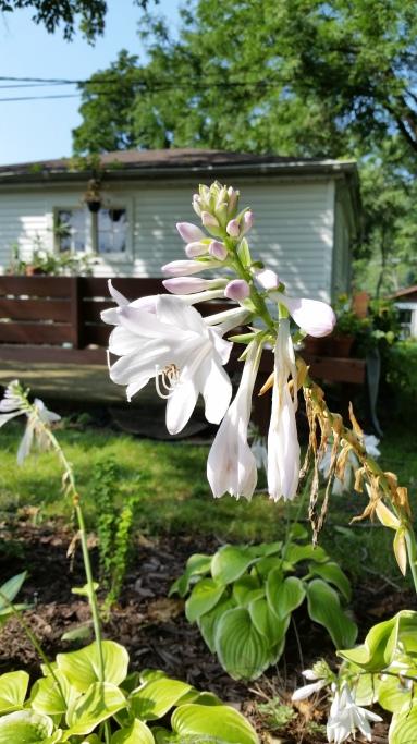 Hosta 'Fragrant bouquet' smells amazing on warm summer nights